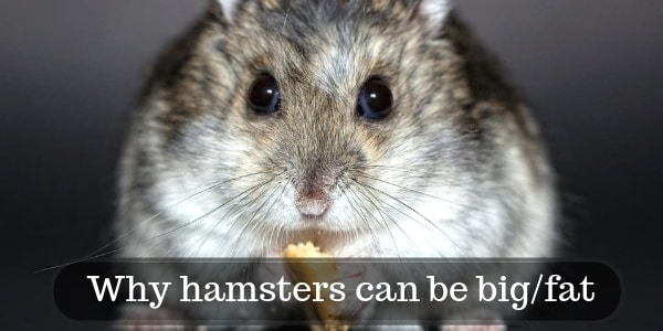 3 Reasons Your Hamster Can Be Big/Fat, And How To Slim It
