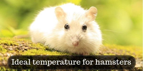 Ideal temperature for hamsters Cover