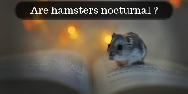 are hamsters nocturnal c