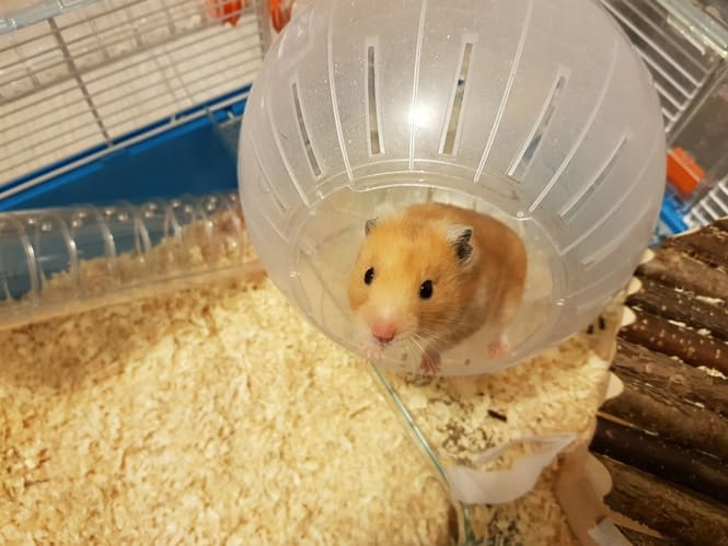hamster exercise ball 2