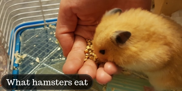 What Do Hamsters Eat ? – Food List And Exceptions