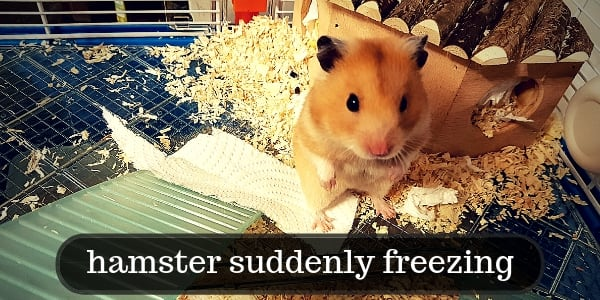 This Is Why Your Hamster Is Freezing And What It Means