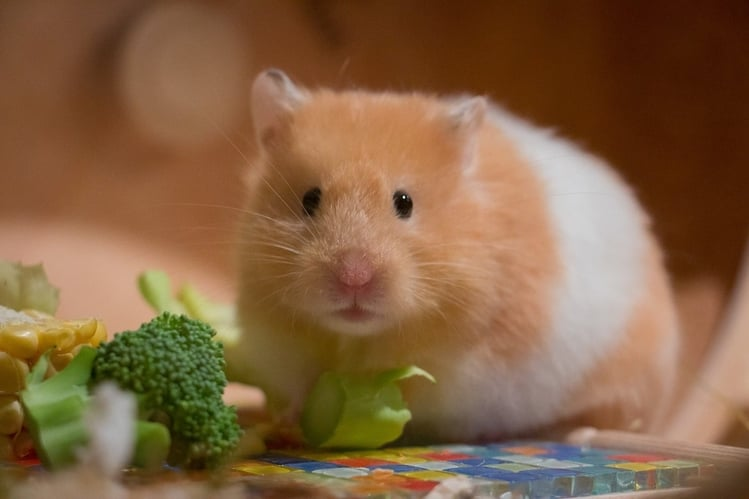 Here Is How Much A Hamster Can Live Without Food Or Water