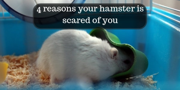 4 Reasons Your Hamster Is Scared Of You – Try To Avoid These