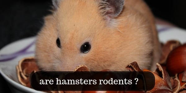 Are Hamsters Rodents ? About Your Furry Hamster Friend