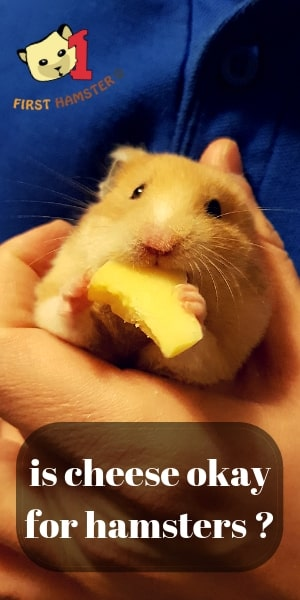 can hamster eat cheese (1)