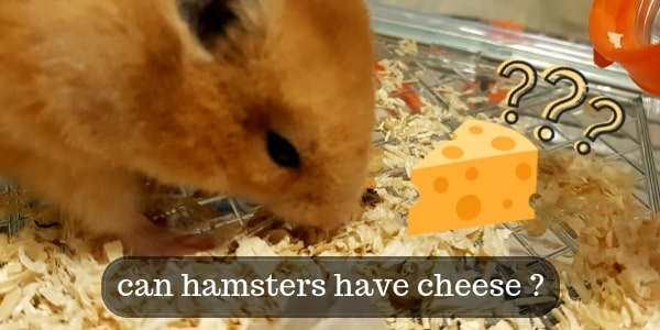 Can Hamsters Eat Cheese ? Are The Cartoons Right ?