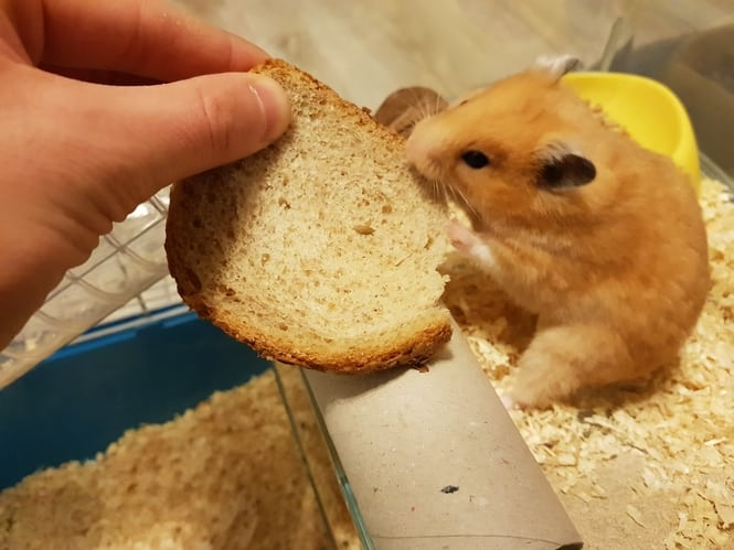 can hamsters eat bread (2)