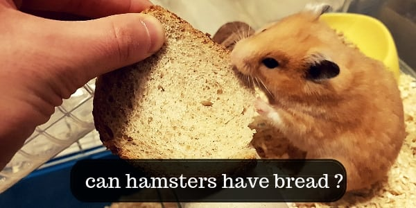 Can Hamsters Eat Bread ? Keep Your Hamster Healthy