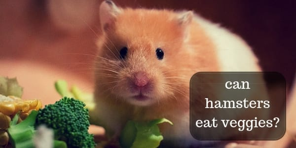 Do Hamsters Eat Vegetables – What To Feed Your Hammy