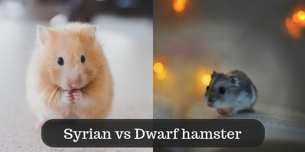 10 Differences Between Syrian And Dwarf Hamsters - First Hamster
