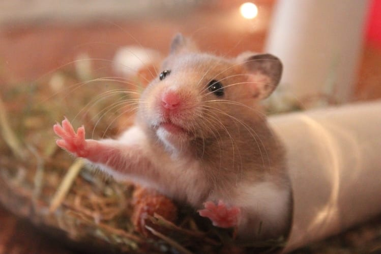 do hamsters hibernate (3)