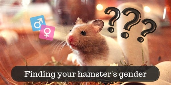 Here's How To Find A Hamster's Gender (All Breeds And Ages)