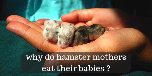 8 Reasons Hamsters Eat Their Babies, And How To Save Them