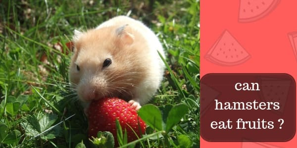 hamster eat fruit (1)