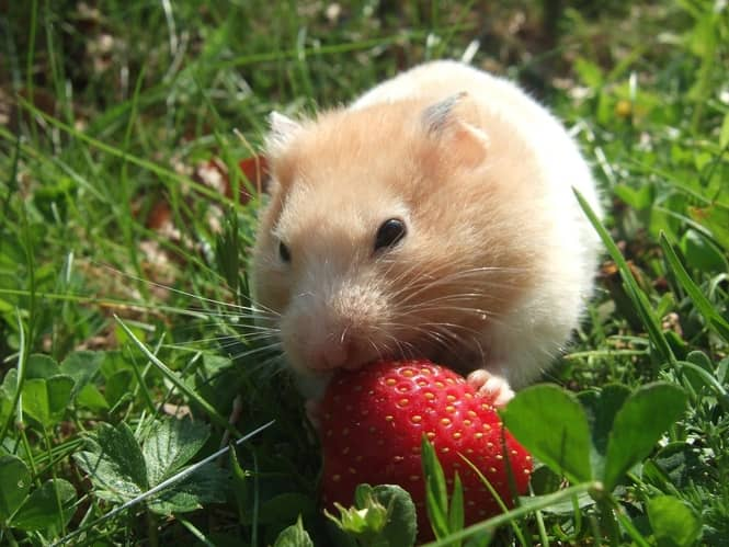 hamster eat fruit (2)