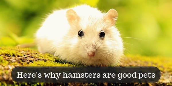 12 Reasons Why Hamsters Are Good Pets, And A Few Cons