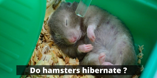 Do Hamsters Hibernate ? What To Know To Save His Life
