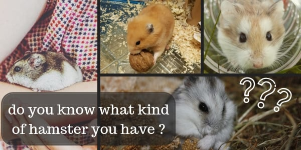 How To Know What Hamster Breed You Have – Complete Guide