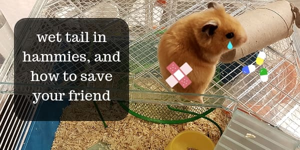What Is Wet Tail, And How To Save Your Hamster's Life