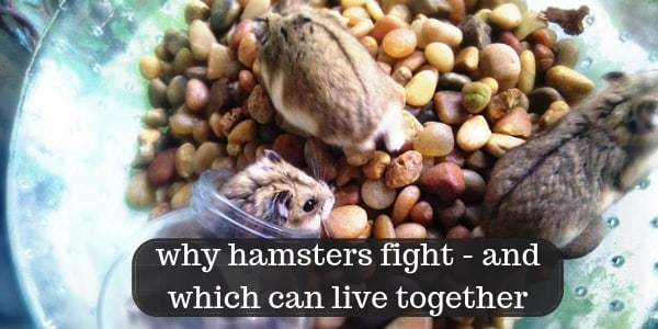 Why Hamsters Fight – Hamster Breeds That Can Live Together