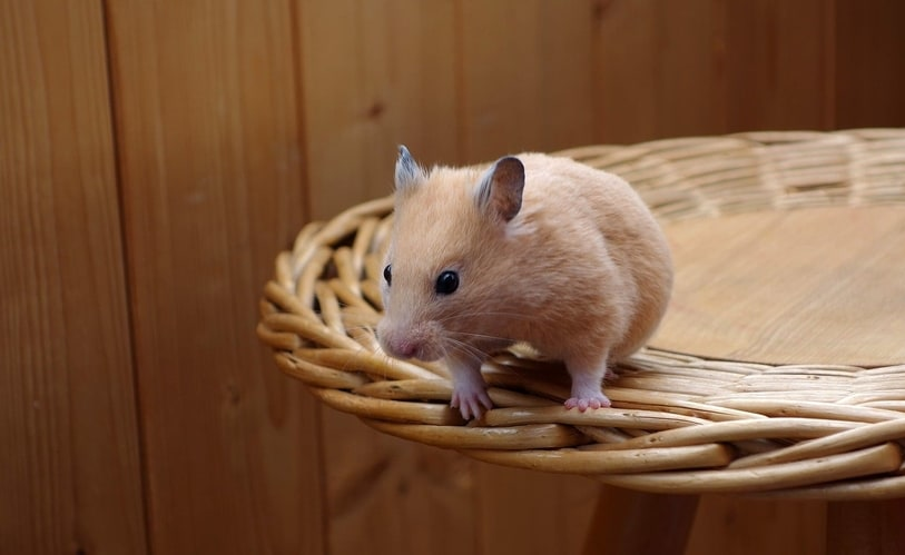 Jumping Hamsters - Why Hamsters Jump, And How High