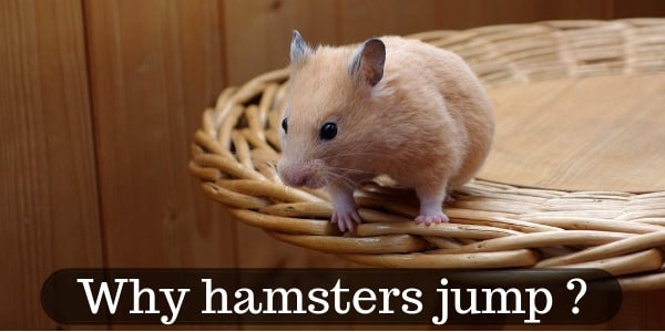 Jumping Hamsters – Why Hamsters Jump, And How High