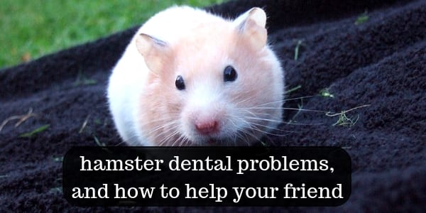 Hamster Teeth Problems. What They Are, And How To Treat Them