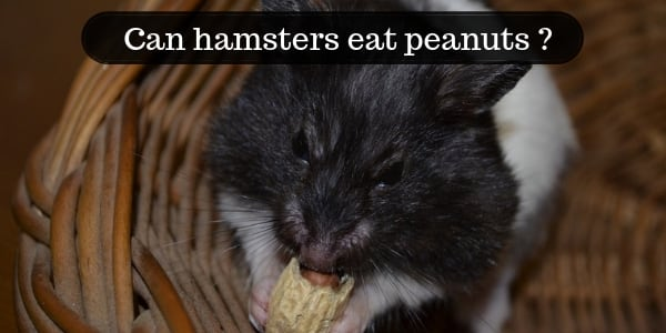 Can Hamsters Eat Peanuts ? Or Any Kind Of Nuts ?