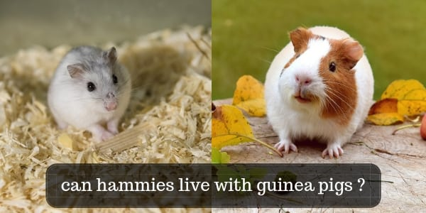 Hamsters Living With Guinea Pigs – What No One Told You
