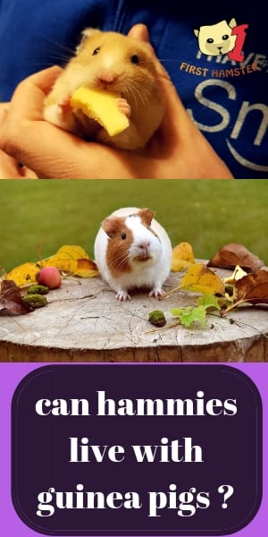 can hamsters live with guinea pigs (2)