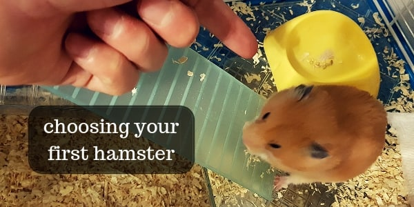 How To Choose Your First Hamster – Health And Temperament
