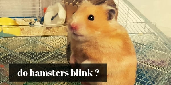 do hamsters blink (1)
