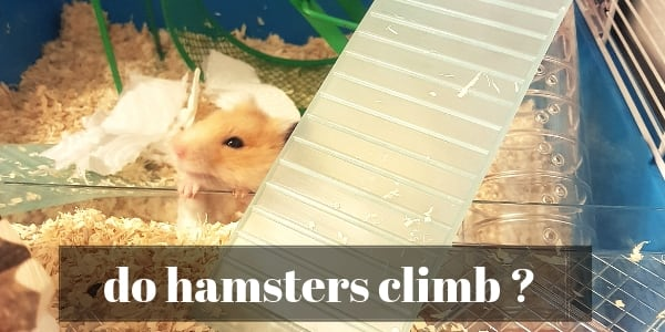 Do Hamsters Climb ? The Funny Truth About Spider-Hamsters