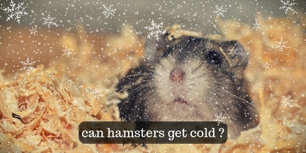Do Hamsters Get Cold ? Keep Your Hamster Warm And Happy