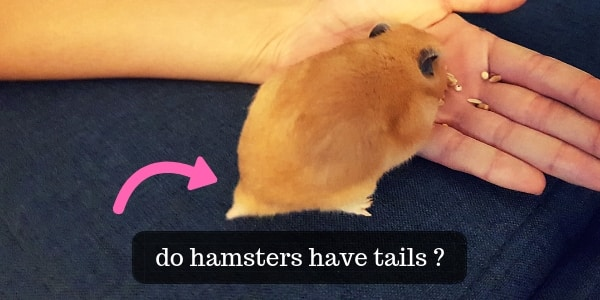 Do Hamsters Have Tails ? Plus A Few Odd Hamster Facts