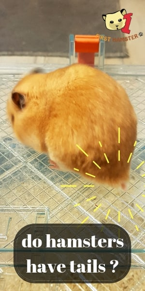 do hamsters have tails (2)