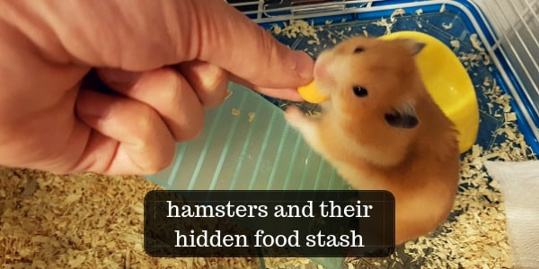 Hamsters Hiding Their Food – Why, When, And Where