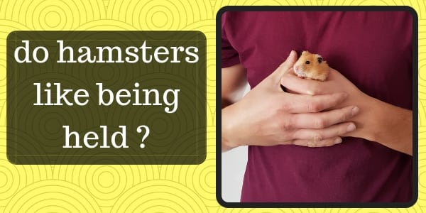 Do Hamsters Like Being Held ? Hamster Affection And Training