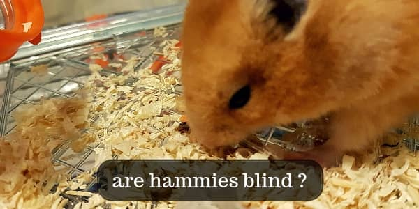 Are Hamsters Blind ? The Truth About Your Hamster's Eyesight