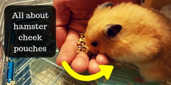 Hamster Cheek Pouches – How They Work, And Common Problems