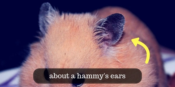 All About A Hamster's Ears - Common Problems And Hearing
