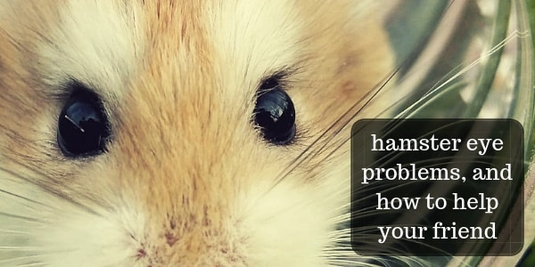 Eye Infections In Hamsters (And Other Eye Problems)