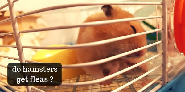 Do Hamsters Get Fleas ? How To Check And Treat Your Hamster