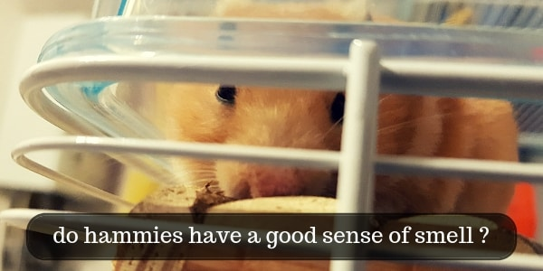 Do Hamsters Have A Good Sense Of Smell ? A Few Hammy Facts