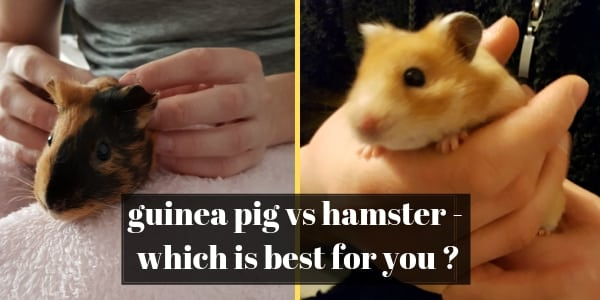 Hamsters vs Guinea Pigs – Take It From Someone Who Owns Both