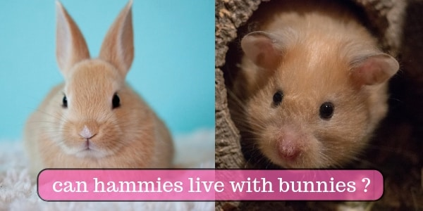 Hamsters Living With Rabbits ? Shedding Some Light On This