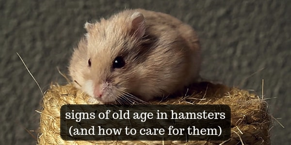 13 Signs Of Old Age In Hamsters, And How To Care For Them