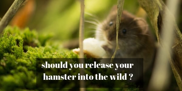 Releasing Your Hamster Into The Wild – Is It A Bad Idea ?