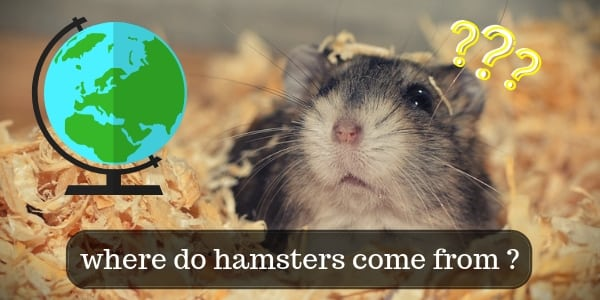 Where Hamsters Come From – Origin Story Of Your Furry Friend